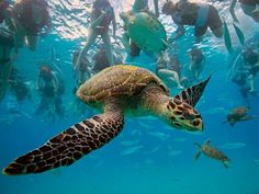 I have a thing for turtles. Especially these enormous sea turtles. <3 <3 <3 <3