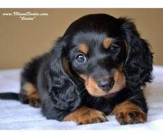 Miniature Long Haired Dachshund-WANT!!!!! this one!!!! #dachshund