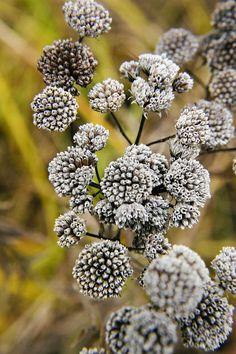 Closeup of the seedpods of native prairie wildflower Pycnanthemum virginianum, aka Mountain Mint