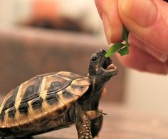 The popularity of tortoises as pets has increased over time. This is because they are silent, they do not shed any far and they are cute. They are most cute Cute Tortoise, Tortoise Care, Tortoise Turtle, Baby Tortoise, Cute Baby Animals, Animals And Pets, Funny Animals, Animals Images, Animal Pictures
