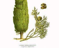 Conifer Tree Art Print - Conifer Tree Illustration - Woodland Tree Art - Conifer Leaf - Conifer Tree Decor.  This original botanical illlustration comes from the 1960s; pri...