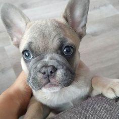 A Lilac Fawn French Bulldog Puppy, with Grey Eyes❤️ so beautiful