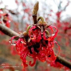 Witch Hazel With the spidery veins, this plant can add a pop of color to a white winter. (Our Fairfield Home and Garden)
