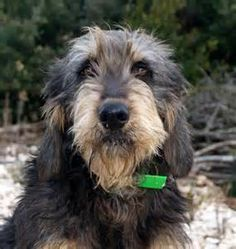 Obscure Dog Breeds You Should Know (Because They're Adorable) Schapendoes Unique Dog Breeds, Rare Dog Breeds, Medium Sized Dogs, Medium Dogs, Dog Breeds Chart, Griffon Nivernais, Low Maintenance Dog Breeds, Otterhound, Dog Eyes