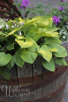 Shade Loving Plants: Hosta