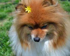 Coda the Pomeranian
