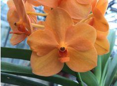 Ascocenda Princess Mikasa 'Orange', orchids
