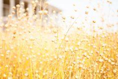 Nature Photography - Landscape Photography - Fine Art Photography - Barn Photography - Wheat Field - Rustic Decor - Country Decor