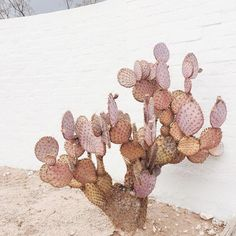 lilac cactus. / sfgirlbybay