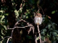 Jungle Owlet - Taken in Bandhavgarh Tiger Reserve, this owl was not shy as he stared us down.