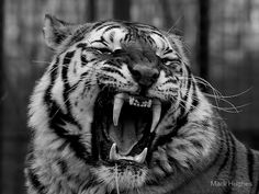 by Mark Hughes Tiger Yawn. by Mark Hughes Tigergesicht Tattoo, Tiger Tattoo, Angry Animals, Cute Animals, Tiger Photography, Watercolor Paintings Of Animals, Gato Grande, Tiger Art, Bad Cats
