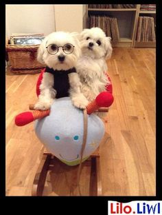 MALTESE MAYHEM- Dis is my man- he's a real wild one!, he's taking me for ride on his....er.... wot is eeeeet??? #maltese MAYHEM- Dis is my man- he's a real wild one!, he's taking me for ride on his....er.... wot is eeeeet????