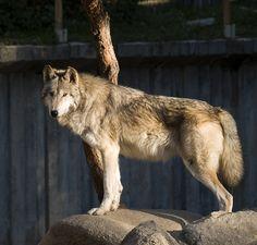 Lobo en el Zoo de Madrid 01 cropped - Макензийский равнинный волк — Википедия