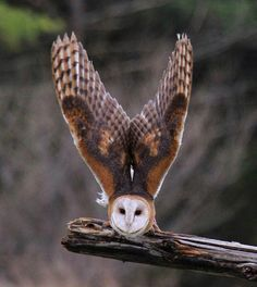 Barn owl ready for take off...