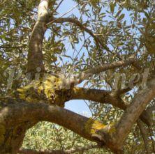 Η Περιφέρεια ενημερώνει για το βακτήριο Xylella fastidiosa που αφανίζει δέντρα και φυτά !
