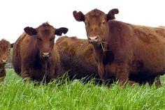 Pregon Agropecuario :: NOVILLO MERCOSUR: SUBAS EN DÓLARES EN LA MAYORÍA DE LAS PLAZAS - Ganadería Bovina - Consignaciones y Remates