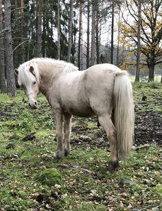 Icelands horse