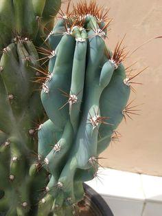 Cereus peruvianus v. monstruosus aka Blue cactus.