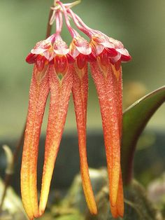 Bulbophyllum thaiorum, by Mikaels orchids, via Flickr