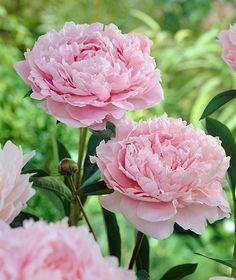 Pion Sarah Bernhardt - tips hur man bäst tar hand om en Pion Peony Sarah Bernhardt, Superbat, Trees To Plant, Garden Inspiration, Flower Power, Outdoor Gardens, Planting Flowers, Beautiful Flowers