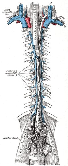 The lymph nodes work as filters of lymph, as they catch debris or cells in lymph.