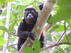 howler monkey in La Cusinga at Costa Rica