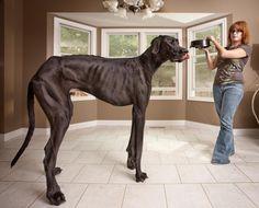 The biggest dog in the world.WWWWWOOOOOWWWWWZZZZZEEEEERRRRRZZZZZ!!!!!HOw much does that dog eat and where does he sleep