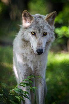 Lakota Wolf Preserve - New Jersey