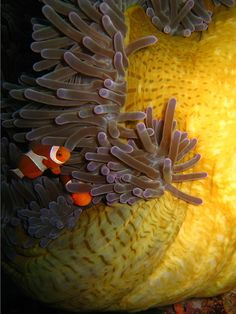 Peeping Clown fish
