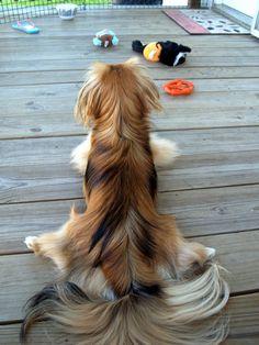 "my little pekingese ""rug""  Looks like my sweet girl Peaches"