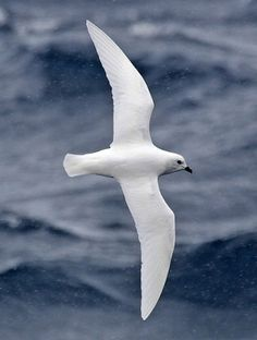 Snow Petrel by Alun Hatfield.The most southerly breeding bird, raising its young in the mountains up to 150 miles inland from the coast of Antarctica.
