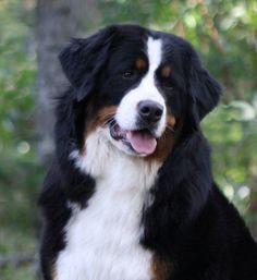 Bernice the Bernese mountain dog