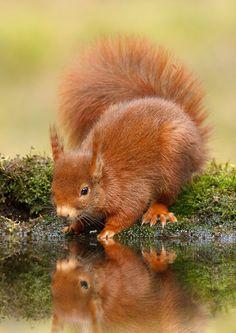 Red Squirrel(Sciurus vulgaris).  Awesome ears!