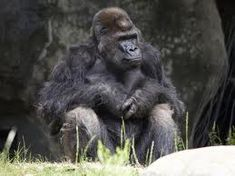 Ivan the gorilla, who spent 27 years on display in a south Tacoma shopping center, died Monday at Zoo Atlanta, his home for the past 18 years. Ivan The Gorilla, Outta Nowhere, The One, The Past, One And Only Ivan, Atlanta Zoo, Silverback Gorilla, Book Club Books, Book Clubs
