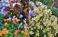 The Little Stonehouse Garden - 1. Lantana 'Evita Red' 2. Coleus 'Marble Red' 3. Floss Flower, Ageratum 'High Tide Blue' 4. Nemesia Nesia 'Sunshine'