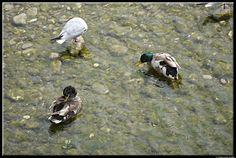 Ducks by Giancarlo Gallo