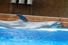 Tombi is our oldest female dolphin.