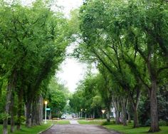 I would love to see elm trees planted on parkways again. Princeton American Elms are resistant to Dutch Elm Disease.