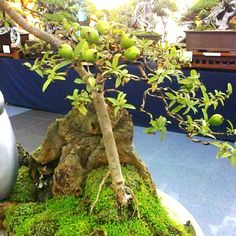 bonsai-guava-tree-with-fruit