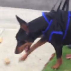 Kenny the Doberman abandoned, rescued, paralyzed, almost euthanized, trained to walk again, and saved.  Props to Four Hands Two Paws Shelter- check out his story and share