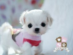 Maltese - Snowball -this little puppy is so darling and small it looks like a stiffed toy