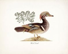 Vintage Duck Illustration  Wood Duck Natural by HighStreetVintage, $15.00