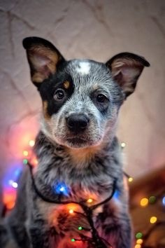Christmas cattle dog!