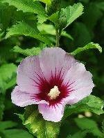 Rose of Sharon, althaea, hardy hibiscus ~ Zones 5-8; full sun/part shade.