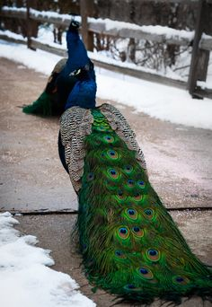 Peacocks by Nick Tsouroullis
