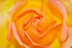 La rose orangée Site Photo, Flowers, Plants, Pink, Beautiful Flowers, Plant, Royal Icing Flowers, Flower, Florals