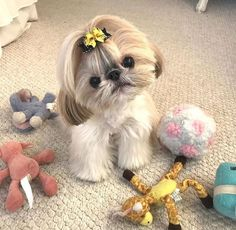 best picture ideas about shih tzu puppies - oldest dog breeds Chien Shih Tzu, Perro Shih Tzu, Shih Tzu Puppy, Cute Baby Dogs, Cute Baby Animals, Cute Puppies, Dogs And Puppies, Doggies, Shih Tzus