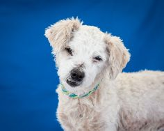 A5056573 Missy is a tender, angelic 8-year-old white female Miniature Poodle and Bedlington Terrier mix whose owner left her at the Baldwin Park Animal Care Center without giving a reason. Weighing 11 lbs, Missy is a gentle and cooperative dog who knows how to walk on leash and seems to be housebroken. She is calm and friendly around other dogs in the shelter environment, has a darling underbite with one snaggle tooth, and has a coat that is soft and lovely to caress. However, Missy…