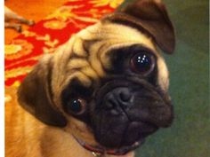 Otys is an adoptable Pug Dog in New York, NY. Baby Otys is a 1 yo old pug puppy surrendered to us because his owner could no longer care for him, and was going to put him to sleep. One of Otys' back l...