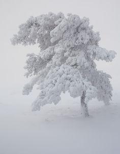 Winter #White #Tree